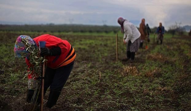 Somaya 60 bin zeytin fidanı dikiliyor