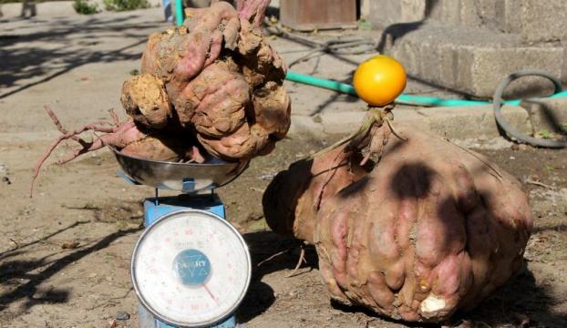 22 kilogramlık patatesiyle Guinnesse aday olacak
