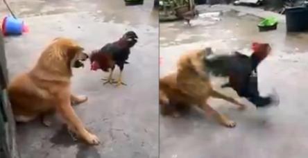 testKöpekle horozun kavgasında galip kim oldu ?