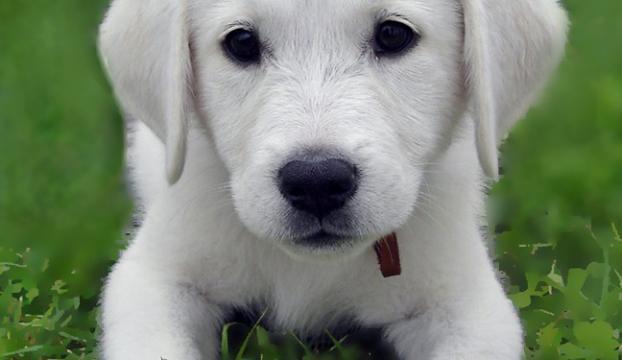"""""""En iyi sürü bekçi köpeği"""" için 6 ay sıra bekliyorlar"""