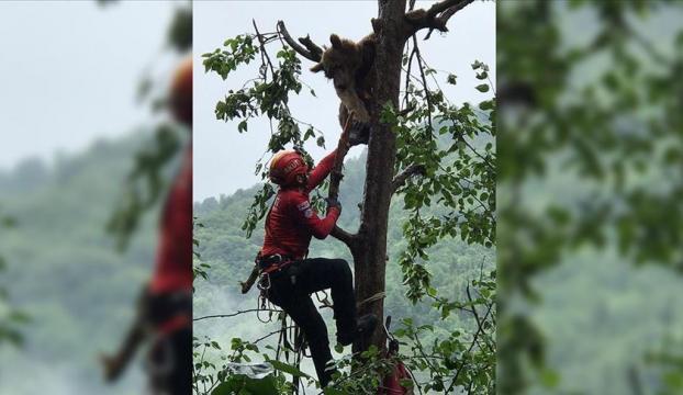 Rizede çıktığı ağaçta mahsur kalan ayı AKUT ekiplerince kurtarıldı