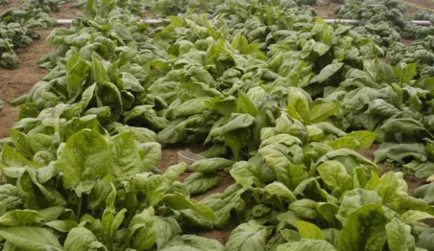 Patlayıcıları belirleyen biyonik bitkiler geliştirildi
