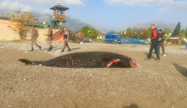 Antalyada balina kıyıya vurdu