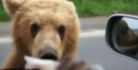 testYol kesen ayılar dilencilik yapıyor