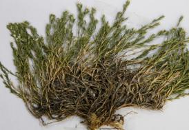 Keşfedilen bitkiye Aziz Sancar'ın ismi verildi