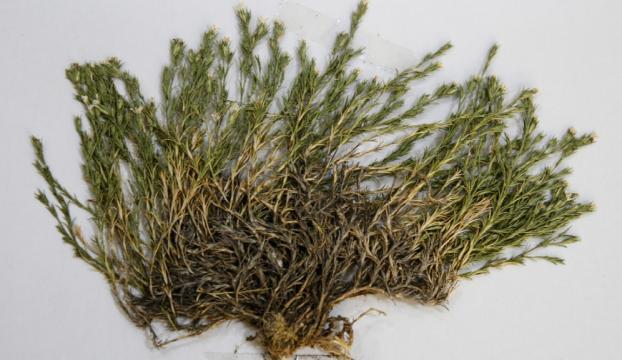 Keşfedilen bitkiye Aziz Sancarın ismi verildi