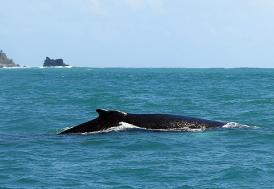 Avustralya'da 150 balina karaya vurdu