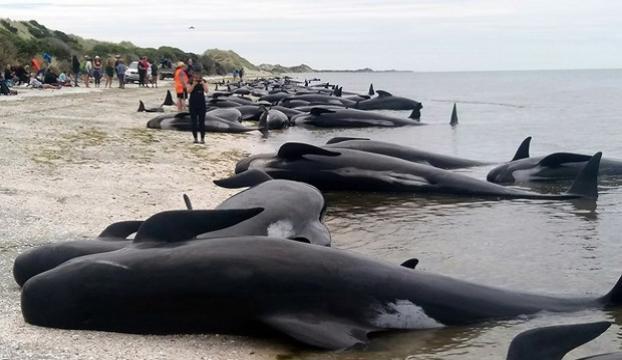 Yeni Zelandada yüzlerce balina karaya vurdu