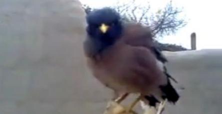 Böyle kuşu ilk kez dinleyeceksiniz. TAKLİTÇİ!