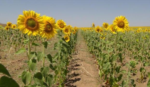 Bitliste ayçiçeği ekimi yaygınlaşıyor