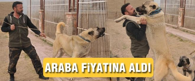 Bu kangal köpeği inanılmaz fiyata satıldı