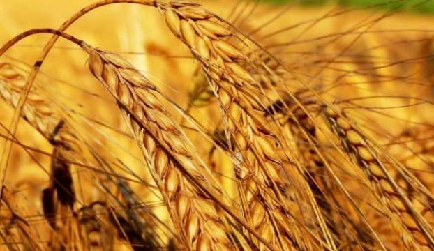 Buğday üretiminde korkunç düşüş