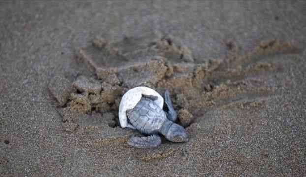 Takip cihazı takılan 3 deniz kaplumbağası doğal yaşam alanına bırakılacak