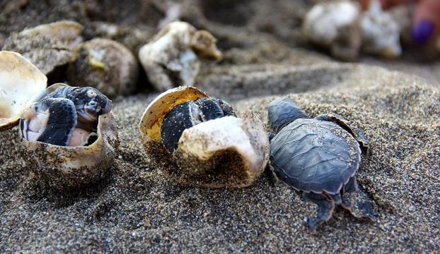 Türkiye binlerce deniz kaplumbağasına yuva oldu