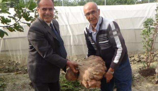 Dev patatesin ağırlığı 22 kilo olarak ölçüldü