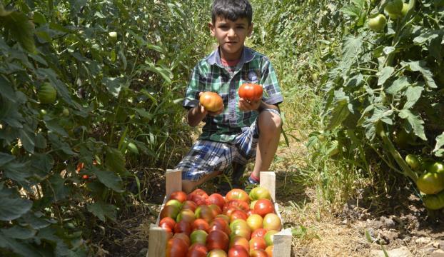 Mersinde yüksek rakımda domates hasadı