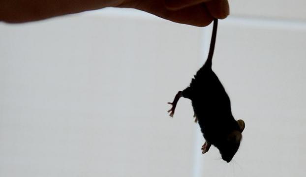 Avustralya'da fare istilası, cezaevini tahliyeye zorladı