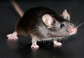 İnsanlar binlerce yıldır farelerle yaşıyor