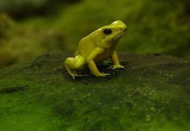 Ekvador'da yeni kurbağa türleri keşfedildi