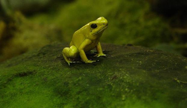 Ekvadorda yeni kurbağa türleri keşfedildi