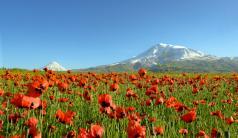 Gelincik çiçeklerinden görsel şölen