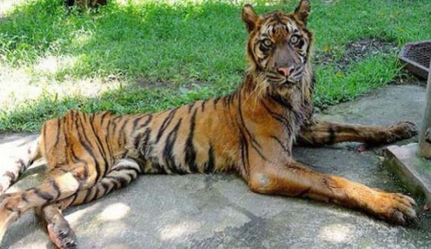 Almanyada iki aslan, iki kaplan ve bir jaguar hayvanat bahçesinden kaçtı