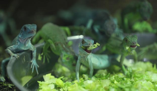 47 iguana yavrusuna özenle bakıyorlar