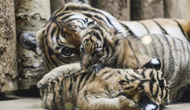Prag Hayvanat Bahçesinde ikiz Malezya Kaplanları doğdu