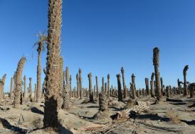 İran'da kuraklık hurma bahçelerini de vurdu