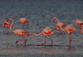 Göller Yöresi'nde 739 bin 142 su kuşu sayıldı