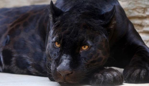 Öz çekim yaparken jaguar saldırdı