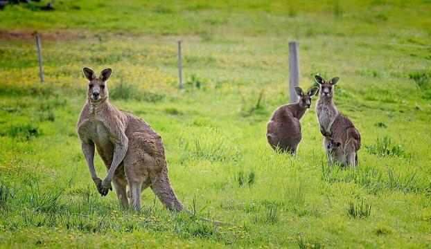 Kangurular insanlarla iletişim kurabilir