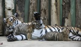 Prag Hayvanat Bahçesi'nde ikiz Malezya Kaplanları doğdu