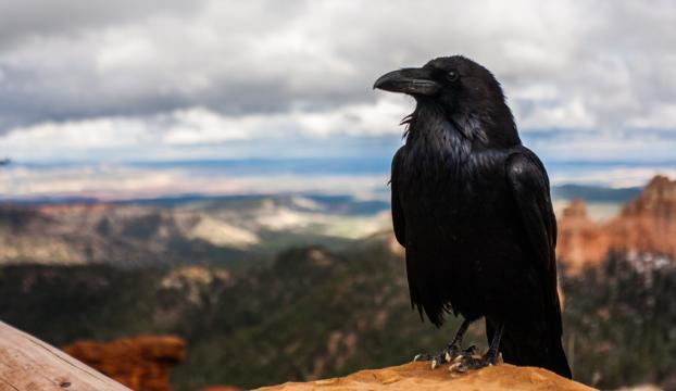Kuşların en zekisi kargalar