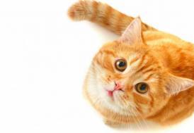 Hollanda'da 2 yıl önce kaybolan kedi Belçika'da ortaya çıktı