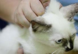 """Koronavirüste """"kedi"""" iddiası asılsız"""