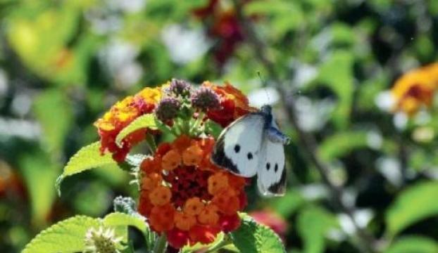 İşte kelebeklerin dansı
