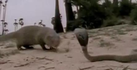 Gelincik ile kobra mücadelesi