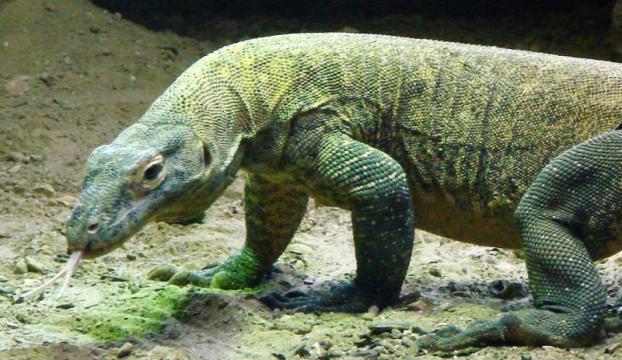 Komodo ejderinin kanı süper bakterilere karşı kullanılabilir