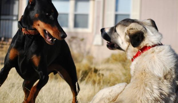 """Denizlide """"köpek dövüşü"""" baskını"""