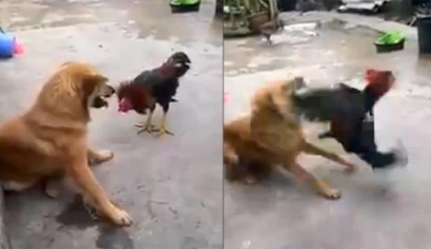 Köpekle horozun kavgasında galip kim oldu ?