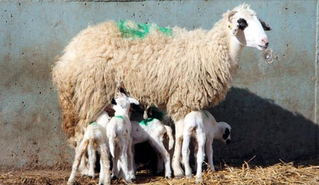 Amasyada bir koyun altız doğurdu
