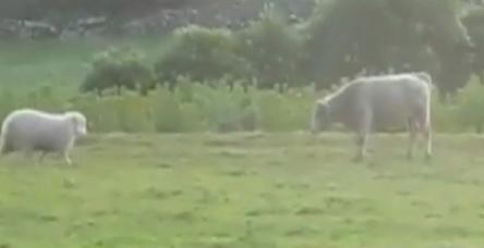Koyundan boğaya toslama dersi