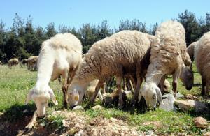"""""""300 koyun projesi""""nde başvurular başladı"""