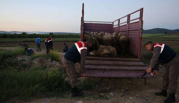 Edirnede köpeği zehirleyip ağıldaki koyunları çaldılar