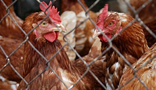 Yumurta ve tavuk üretiminde düşüş!