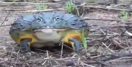 testYanlış kurbağaya çattın dostum!