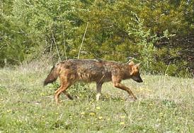 Köye inen kurtlar büyükbaş hayvanları telef etti