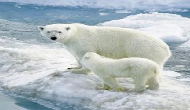 Kutup ayıları umut olacak!