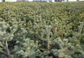 Ordu'da gövdesinden 18 ağaç yetişen ladin tescillenecek